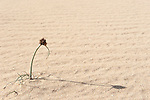 Flowering Plant on sand dune, Corralejo Dunes National Park (Parque Natural de las Dunas de Corralejo), Fuerteventura, Canary Islands, Spain