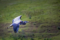 A GBH, Great Blue Heron, flies against a mostly green background in the wetlands of Coyote Hills Regional Park.