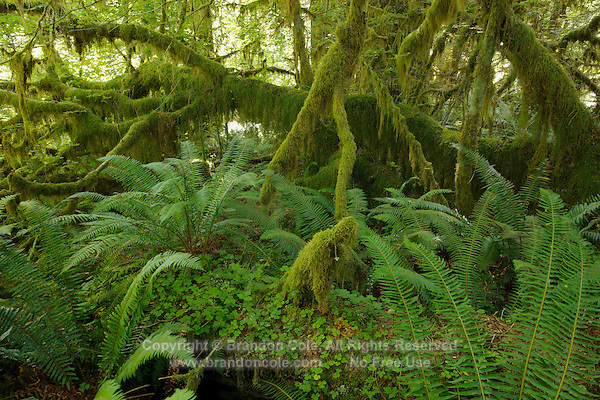 QX1391-D. Ferns and moss-covered trees in the Hoh Rainforest, Olympic National Park. Washington, USA.<br /> Photo Copyright &copy; Brandon Cole. All rights reserved worldwide.  www.brandoncole.com