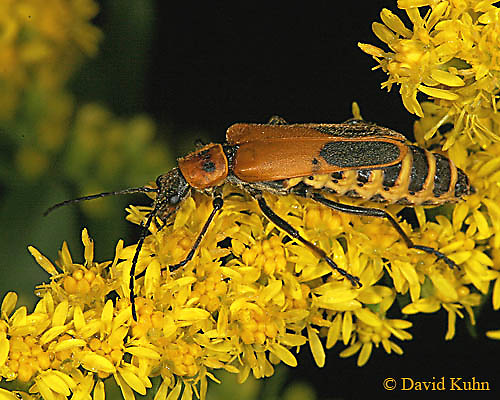 0910-06uu  Goldenrod Soldier Beetles - Chauliognathus pennsylvanicus - © David Kuhn/Dwight Kuhn Photography