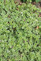 Succulent groundcover Aptenia cordifolia 'Variegata' HeartLeaf Iceplant