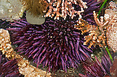 Tide pool life: Sea Urchins and Red Algae, San Mateo County, California, USA