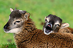 Domestic Sheep, Isle of Skye, Scotland