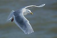 540020303 a wild glaucus gull larus hyperboreaux soars over the open ocean near southwest alaska
