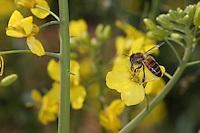 Bee on a rape flower