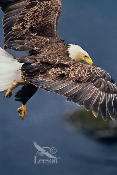 Bald Eagle flying along coastal cliffs, Alaska.