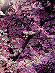 Sakura, cherry blossom at night, closeup of cherry tree branches abstract background.