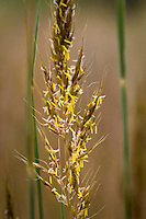 Sorghastrum nutans (Indiangrass) yellow flowering grass in Porter Plains Garden meadow at Denver Botanic Garden