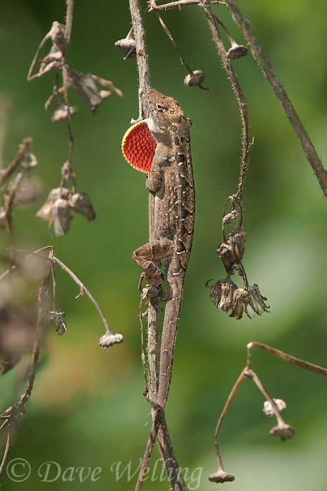 412040016 a wild brown anole lizard anolis sagrei an introduced species sits on a dead plant  flashing its dew lap in a territorial threat display on south padre island cameron county texas