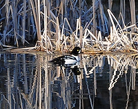 A beautiful male goldeneye duck paddles serenely along on an abstract pond surface. Cattails provide the intriguing reflected designs.
