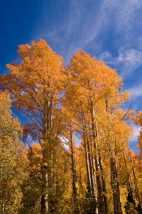 Golden Aspen leaves, aspen trees in fall, white bark, autumn, fall leaves, fall color, Markagunt Plateau, Cedar Mountain, Hwy 132, Mile Marker 24, Dixie National Forest, Utah, UT, Image ut331-17485, Photo copyright: Lee Foster, www.fostertravel.com, lee@fostertravel.com, 510-549-2202