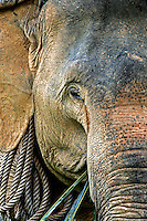 Since 1986, the Asian elephant (Elephas maximus) has been listed as endangered by IUCN. The population has declined by an estimated 50% over the last three generations. In 1850, Thailand had as many as 100,000 Asian elephants at a time when Thailand had only about six million people. Today there are approximately 2,700 domesticated elephants and an estimated 1,500 in the wild.