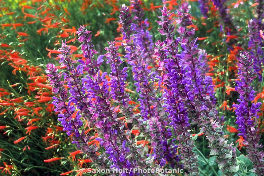 Penstemon strictus (blue) and Penstemon pinifolius (red) (Beard Tongue) in drought tolerant garden