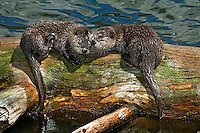 Northern River Otter (Lontra canadensis) pups.  Western U.S., summer..