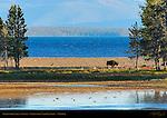 Bison at Sunset, Yellowstone Lake, Yellowstone National Park, Wyoming