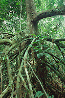 Stilt roots of Uapaca sp. of Euphorbiaceae family in wet depression in Tropical Rain Forest in Tai National Park, Ivory Coast, West Africa