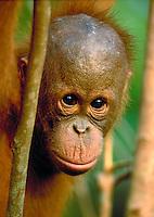 Juvenille Orangutan, pongo pigmaeus, in the rainforest, apes. South-Central Kalimantan Borneo Indonesia Rainforest.