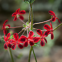 Pelargonium 'Ardens', early June.