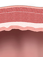 Biomedical illustration of a section of the intestine wall.