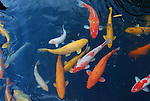 Koi fish in pond in Rancho Mirage, CA