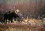 Moose, Yellowstone National Park, Wyoming