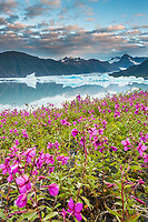 Dwarf fireweed and icebergs in Bear Glacier Lagoon, Kenai Fjords National Park, southcentral, Alaska.
