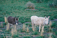 792800269 a white and gray mule stand in an open field in southern utah