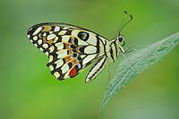 Lemon Butterfly (Papilio demoleus), adult perched on leaf, captive