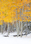 Fall color in the Carson National Forest between Taos and Chama, New Mexico.