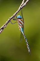 339360059 a wild male blue-eyed darner rhionaeschna multicolor perches on a small tree branch near empire creek las cienegas natural area santa cruz county arizona united states