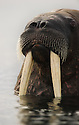 Walrus (Odobenus rosmarus) in Svalbard