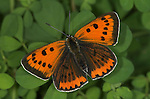 Large Copper Butterfly, Lycaena dispar, was extinct in UK, special breeding group for release, with wings open showing orange colour and brown spots.United Kingdom....
