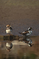 559287014 a male and female hooded merganser lophodytes cucullatus at the edge of an estuary near santa barbara california