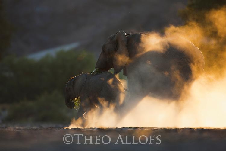 Namibia;  Namib Desert, Skeleton Coast,  desert elephant mother and calf (Loxodonta africana) running across dry river bed