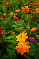 Stunning nature macro flower photo of the field, orange wildflowers. China landscape stock photography by Paul Chong.