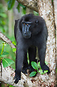 Dominant male crested black macaque in tree, (Macaca nigra), Indonesia, Sulawesi; Endangered species, threatened through loss of habitat and bush meat trade, species only occurs on Sulawesi.