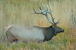 Bull Elk at Dawn, Lower Mammoth, Yellowstone National Park, Wyoming