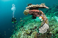 A diver swimming past the remains of an anchor embedded in the reef, Menjangan, Bali, Indonesia. The so-called 'Anker' wreck is thought to be an old trading ship that sunk over 100 years ago on Menjangan's reef. Menjangan is protected from the strong currents that sweep between Java and Bali and as a result has clear, warm waters and good reefs - the walls and shallow coral gardens of the island are some of the best in Bali