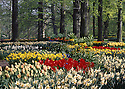 AA00424-01...NETHERLANDS - Tulips and daffodils in bloom at Keukenhof, a formal garden devoted bulb flowers.