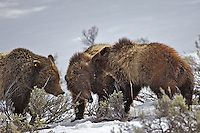 Sibling rivalries, Grizzly 610's cubs having a discussion in Grand Teton National Park