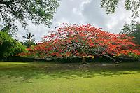 Red Flamboyant tree<br /> Caneel Bay Resort<br /> Virgin Islands National Park<br /> St. John, U.S. Virgin Islands