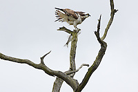 Osprey (Pandion haliaetus) with freshly caught fish. Arne, Dorset, UK.