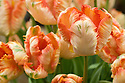 Tulip 'Apricot Parrot' (Parrot Group), mid May. A sport of T. 'Karel Doorman', raised in 1961 by H.G. Huig.