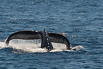 Humpback whale reveals flukes as it dives off Santa Cruz Island, CA