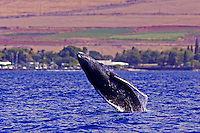 A young humpback breaches offshoe of Lahaina, Maui.