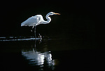 Great egret, Florida