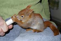 Eichhörnchen, Europäisches Eichhörnchen, verwaistes Jungtier, Junges wird von Hand aufgezogen, Wildtier-Aufzucht, wird mit Spezial-Aufzuchtsmilch per Spritze gefüttert, Tierbaby, Tierbabies, Sciurus vulgaris, European red squirrel, Eurasian red squirrel