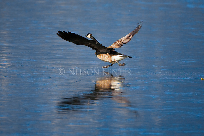 A Canada Goose running across the ice while taking flight from a frozen pond at the Lee Metcalf Wildlife Refuge in  Montana