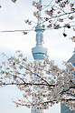Cherry blossoms in Tokyo 2014