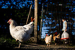 Chickens at Soul Food Farm in Vacaville, CA May 7, 2010.